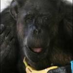 Cheeta cumple 75 años, el chimpancé mas viejo del mundo