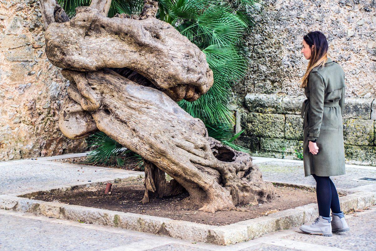 Árbol retorcido en Pollensa - Pueblos más bonitos de Mallorca