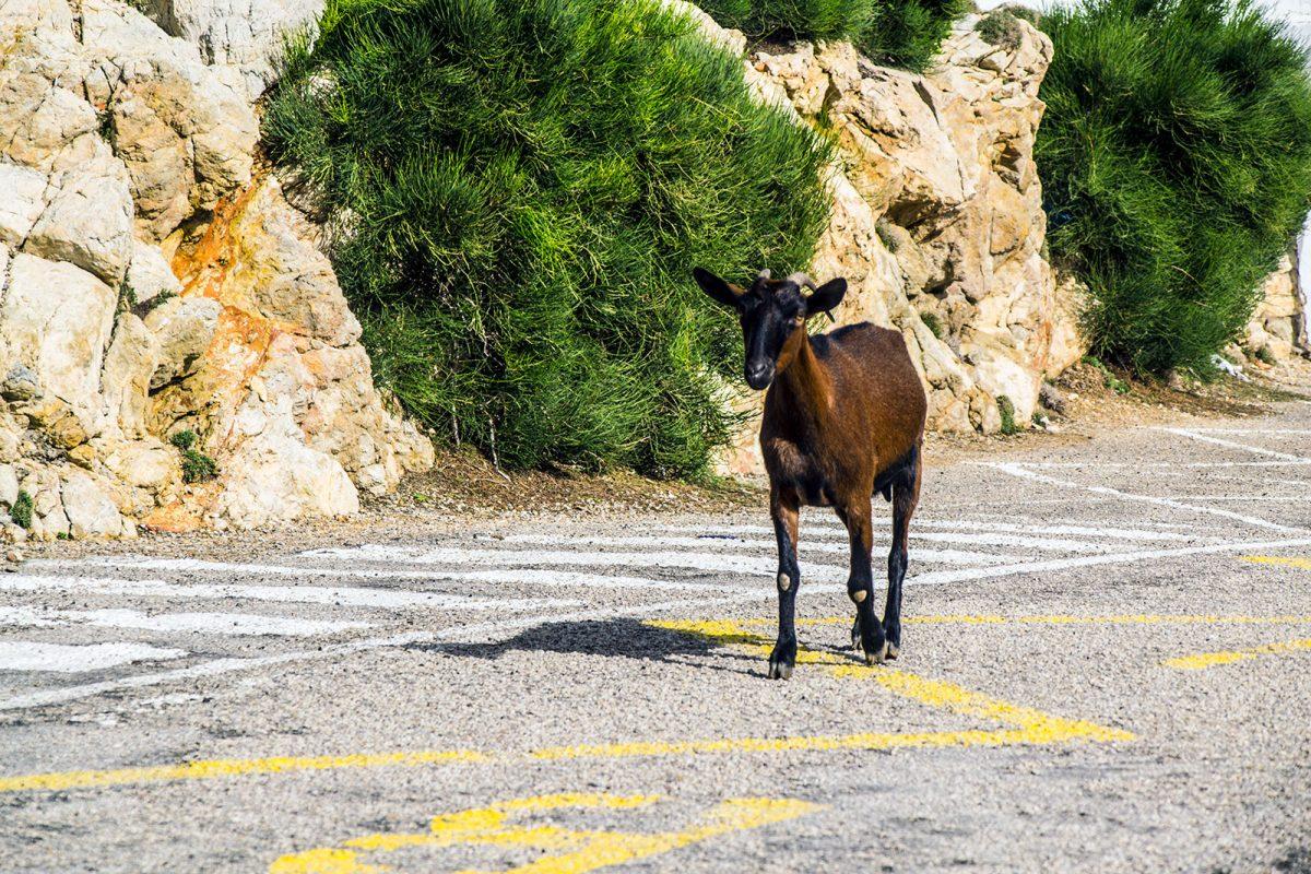 Cabra en cabo de Formentor - Pueblos más bonitos de Mallorca