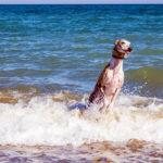 Turbo disfrutando en la playa para perros del Puig- Un día en Valencia