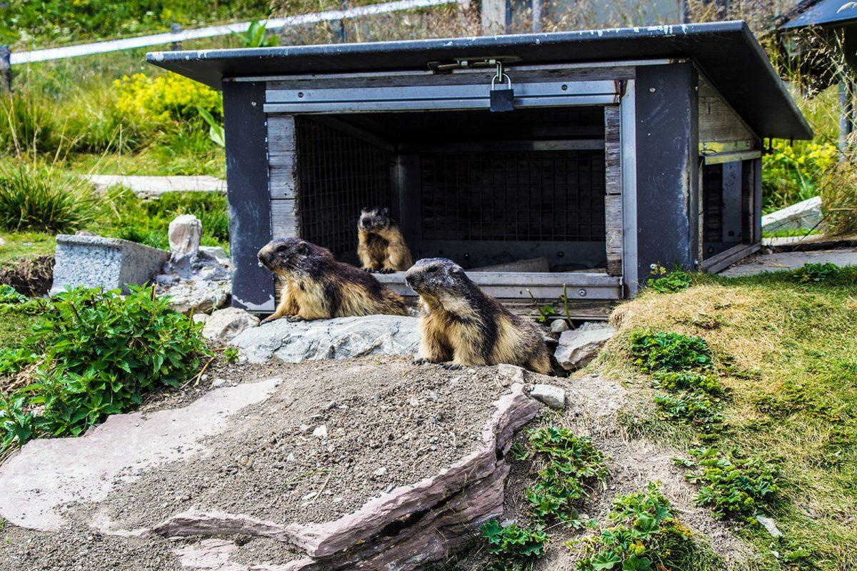 Marmotas en Rochers de Naye - Montreux la joya del lago Lemán