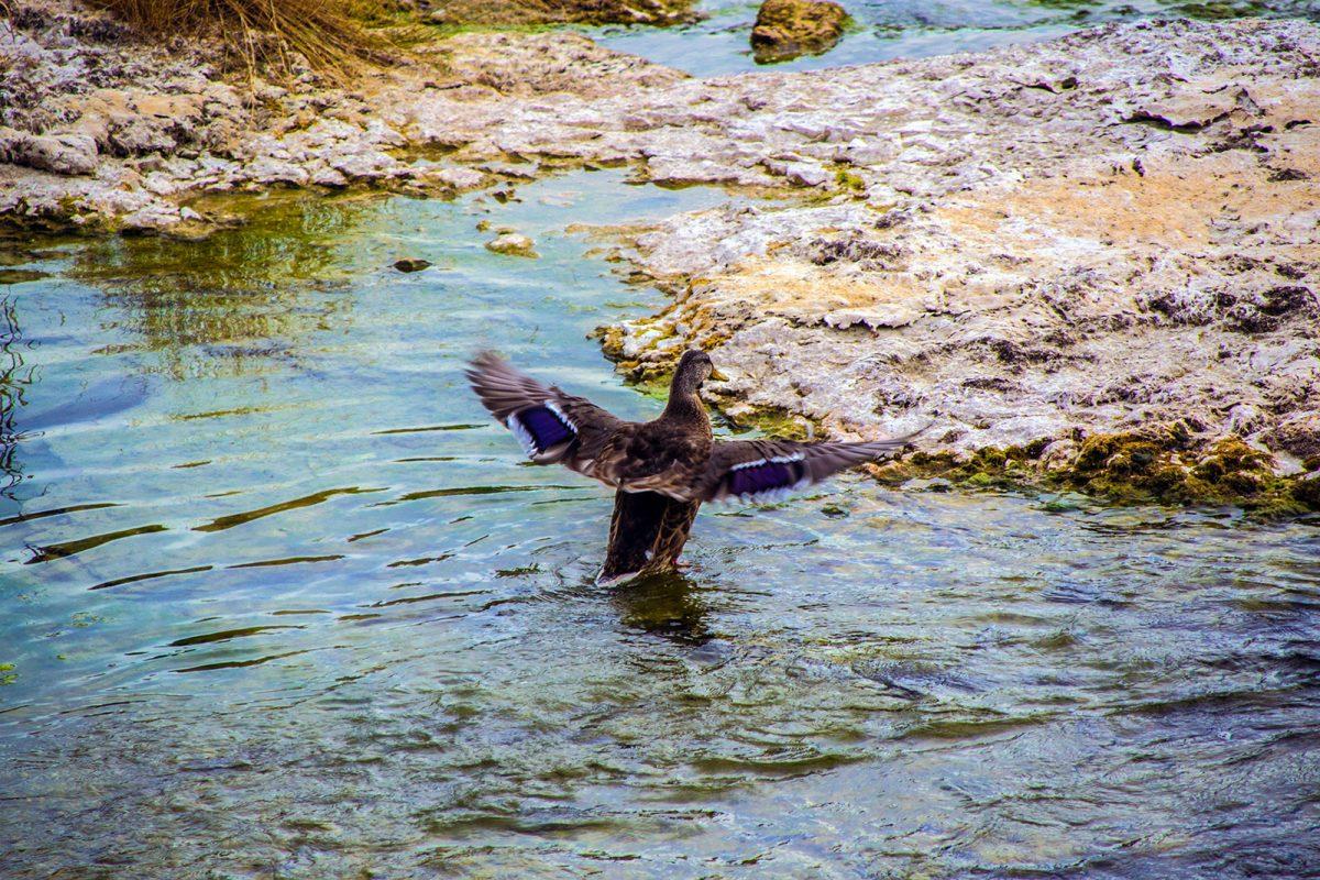 Patos en las cataratas del Rin - qué ver en Zúrich